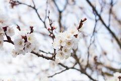Arbre de floraison avec de belles fleurs blanches photographie stock libre de droits