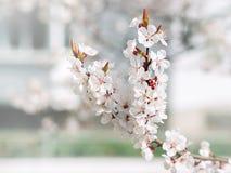 Arbre de floraison blanc de fleurs pointues et defocused Beau printemps Fond d'aquarelle Branchements d'arbre de floraison Images stock