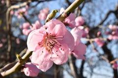 arbre de floraison de branchement Images stock