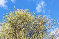 Arbre de floraison contre le ciel bleu photographie stock libre de droits