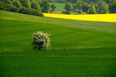 Arbre de floraison dans le domaine Image stock