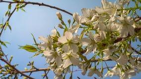 Arbre de floraison dans le jardin sur le fond de ciel bleu Printemps, fin  photographie stock libre de droits