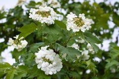 Viburnum de floraison image stock image 16371151 - Arbre boule de neige ...