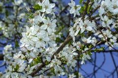 Arbre de floraison de branche avec les fleurs blanches images libres de droits