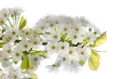 arbre de floraison de branchement Photos stock