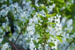 arbre de floraison de branchement Image libre de droits