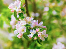 arbre de floraison de branchement Images libres de droits