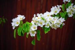 arbre de floraison de branchement Photographie stock