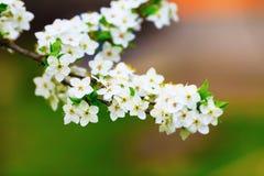 arbre de floraison de branchement Photographie stock libre de droits