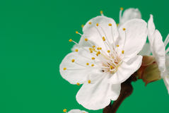 arbre de floraison de branchement Photo stock