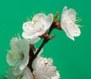 arbre de floraison de branchement Photos libres de droits