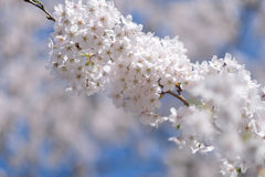 arbre de floraison de branchement Photo libre de droits