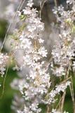 arbre de floraison de branchement Image stock