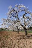 Arbre de floraison de chery Photographie stock libre de droits