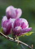 Arbre de floraison de magnolia Images libres de droits