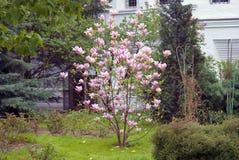 Arbre de floraison de magnolia Photographie stock