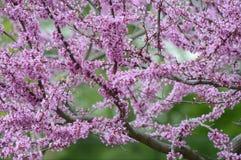 Arbre de floraison de Redbud de ressort Photographie stock libre de droits