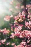 Arbre de floraison de ressort Photographie stock libre de droits