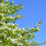 Arbre de floraison de ressort Branches avec les fleurs blanches contre le ciel bleu Photo stock