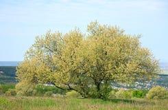 Arbre de floraison de source sur le plateau Image stock