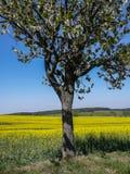 Arbre de floraison en avant du champ Image stock