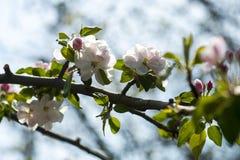 Arbre de floraison de fleur de pomme photos stock