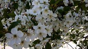 Arbre de floraison, fleurs blanches sur un arbre Cerise Images stock