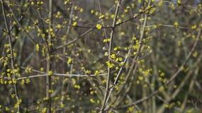 Arbre de floraison jaune photographie stock