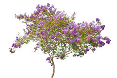 Arbre de floraison lilas d'isolement sur le blanc Photo libre de droits