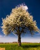 Arbre de floraison lumineux au printemps. images stock