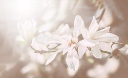 Arbre de floraison de magnolia Photos libres de droits