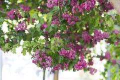 Arbre de floraison rose Photo libre de droits
