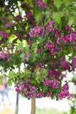 Arbre de floraison rose Image libre de droits