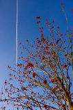 Arbre de floraison sur le fond de ciel bleu avec les fleurs et les traces rouges d'avion Photo stock