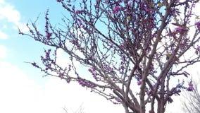 arbre de floraison Violacé-rose de ressort en Israël banque de vidéos