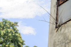 Arbre de formosana de Fraxinus en fleur photo stock