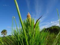 arbre de fougère et cieux bleus dans la région naturelle de clairières de pin en Floride photo stock