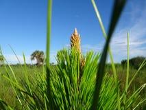 arbre de fougère et cieux bleus dans la région naturelle de clairières de pin en Floride photos libres de droits