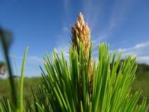 arbre de fougère et cieux bleus dans la région naturelle de clairières de pin en Floride photographie stock