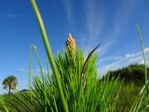 arbre de fougère et cieux bleus dans la région naturelle de clairières de pin en Floride images stock
