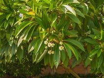 Arbre de Frangipani de Plumeria image libre de droits