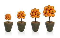 Arbre de fruit orange photos libres de droits