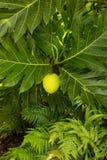 Arbre de fruits à pain s'élevant dans la plantation dans Kauai Image libre de droits