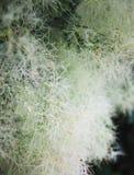 Arbre de fumée de Bush, fond d'été photographie stock libre de droits