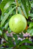 arbre de gaertn d'odollam de cerbera Images libres de droits