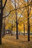 Arbre de Ginkgo en automne image libre de droits