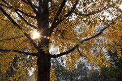 Arbre de Ginkgo sous le coucher du soleil Image libre de droits