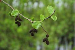 Arbre de glutinosa d'Alnus Embranchez-vous avec les feuilles fraîches Images stock