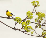 Arbre de Goldfinch et d'érable Photographie stock libre de droits