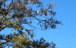 Arbre de gomme complètement des oiseaux de Cookatoo dans l'Australie du Queensland photographie stock libre de droits